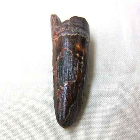 lg. cretaceous spinosaurus dinosaur tooth 47a