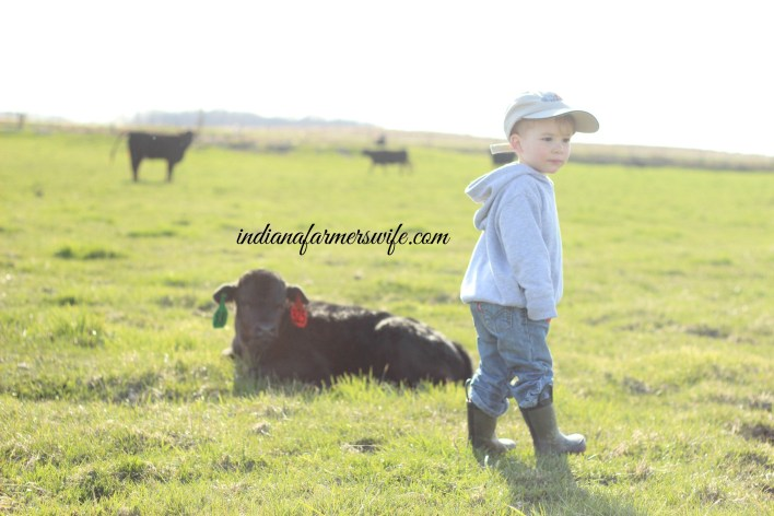 angus calf, just born calf, cow, calf , red cow, heifer, calving season, farm, farm boy, farm kids, indiana farm, farmers wife, green pasture