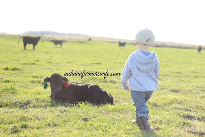 bull calf, little boy farming, ear tags, angus calf, calving season, farm life, green pasture, spring, calving season