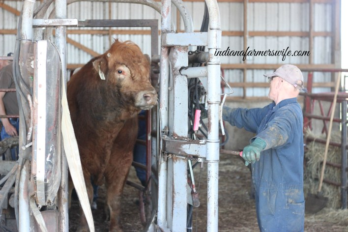 hoof trimming, cattle, bull, limousin bull, cattle chute, hydraulic cattle chute