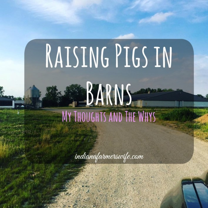 raising pigs in barns