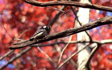Downey Woodpecker along Hemlock Grove Trail.