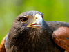 Beau the Harris' Hawk
