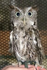 "Boudreaut, or ""Bougie,"" an Eastern Screech Owl (Gray Morph)"