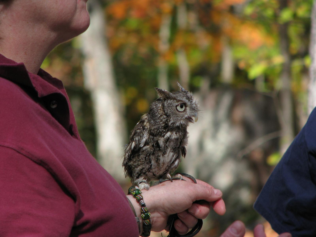 InRC president Patti Reynolds educates a visitor about the Eastern screech owl.