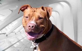 Red Nose Pit bull Terrier