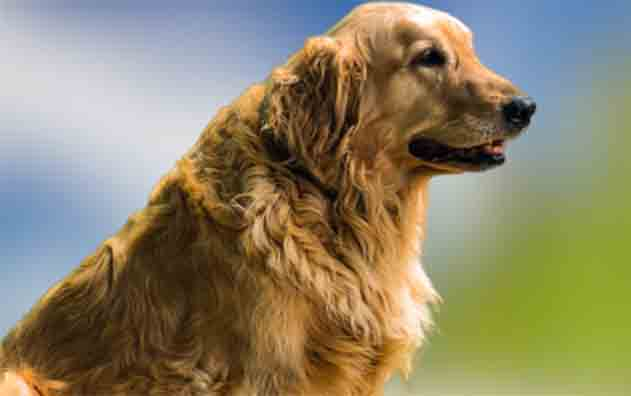 adult-golden-retriever