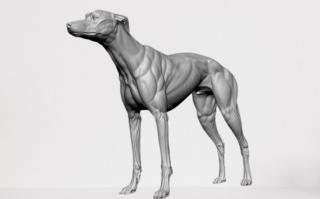 Rajapalyam dog