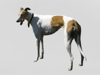 Rampur Greyhound Dog