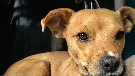 Boo dog price in India