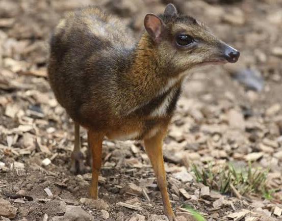 Vietnam mouse deer