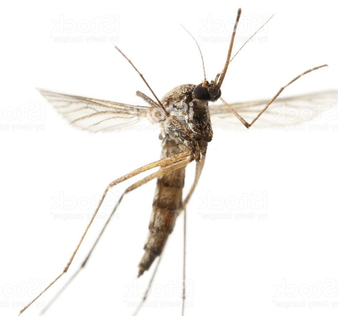Mosquitoes flirt