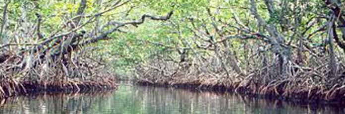 Mangrove Loss Coming Down