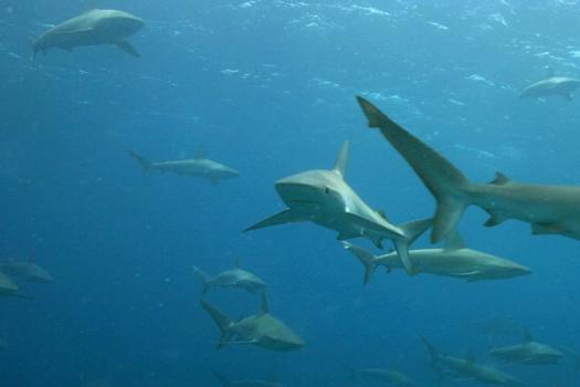 Shark, Ray Population On A Decline