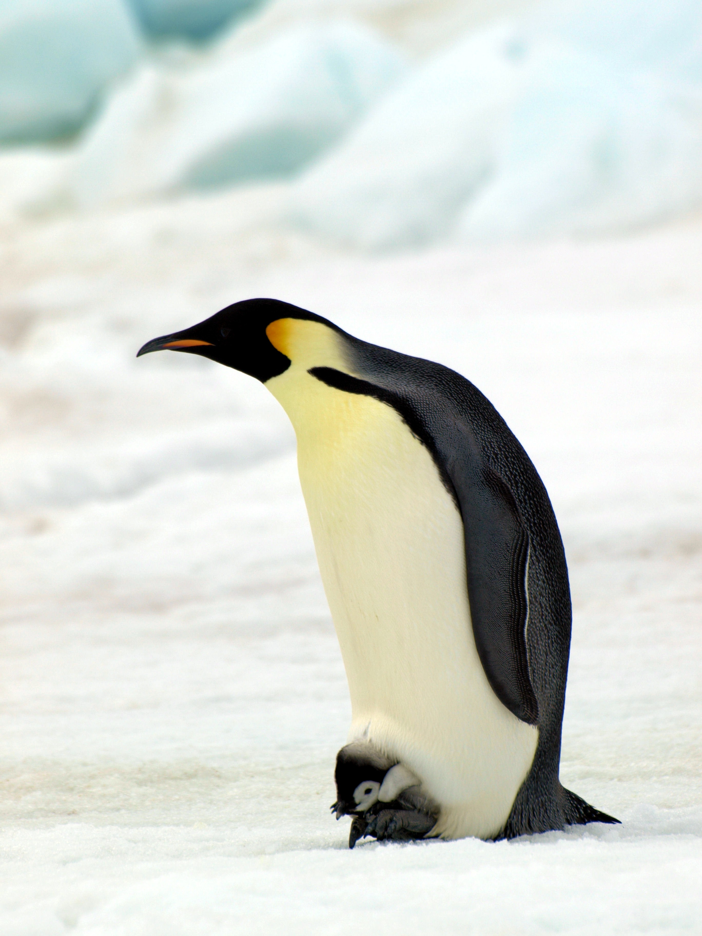 Scientists Count Penguins From Space Indian Science Journal