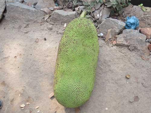 jackfruit_kaani_2018_04