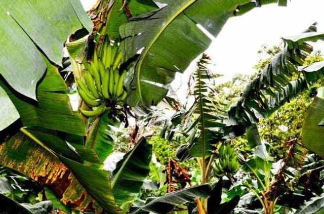 davidson_2020_food_banana-a