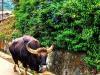 davidson_2020-tourism-bison