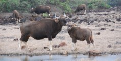 Bison At Radhanagari Wildlife Sanctuary Kolhapur