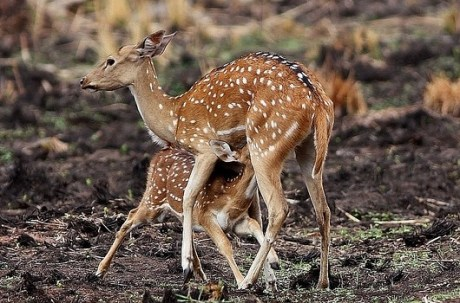Deers At Radhanagari Wildlife Sanctuary Kolhapur
