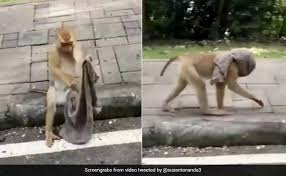 Photo of Monkey made a mask with a scarf. People said-we should also learn something during the epidemic, see video from