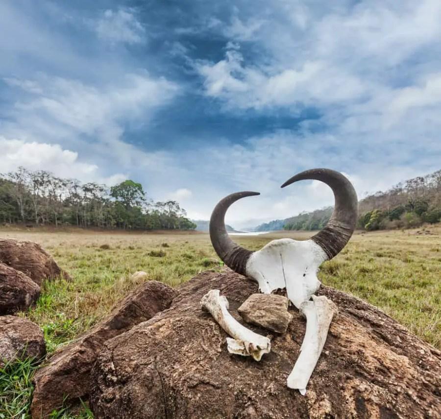 Gaur (Indian bison) skull with horns