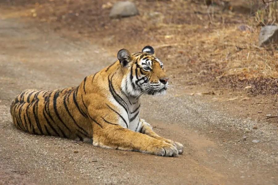 Tigress (Panthera tigris) sitting on the dirt road, Ranthambore National Park, Rajasthan, India