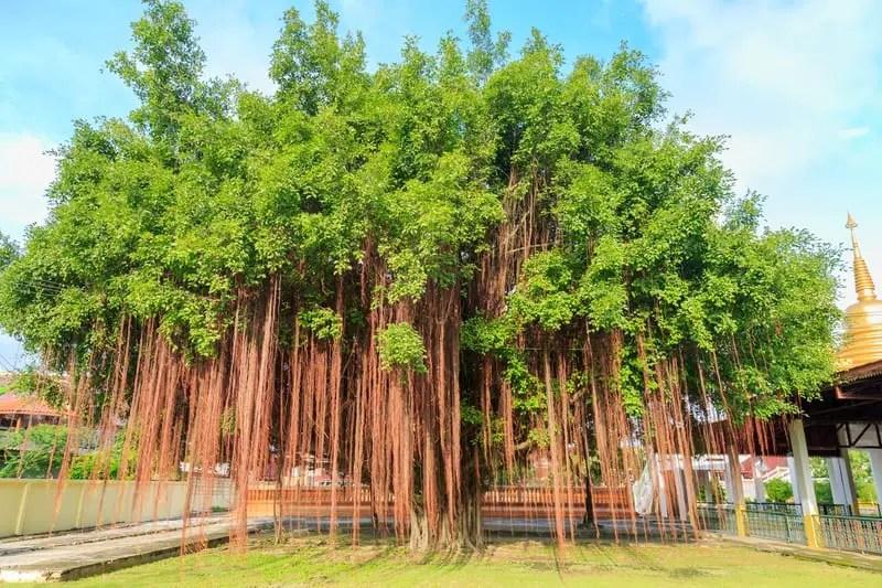 India Banyan Tree