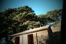 Lebanon Cedars - the other ones!