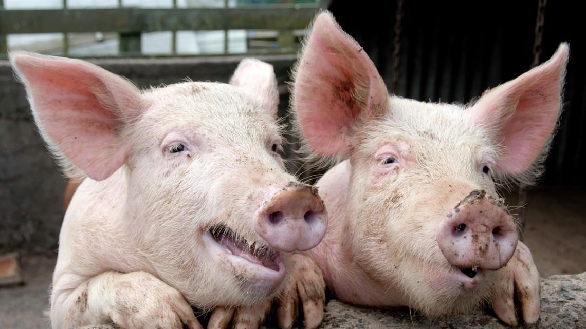"""Wereldwijde autoriteiten zetten zich schrap voor een wereldwijd eiwittekort als """"Een kwart van de varkens op aarde is weggevaagd"""""""
