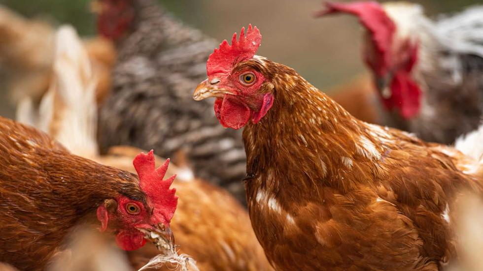 Nieuwe uitbraak van BIRD FLU ziet duizenden kippen gedood in coronavirus-geteisterd China
