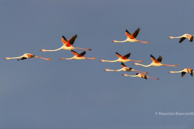 Emilia Romagna, Birdwatching am Podelta, Schwan, Comacchio, Vogelbeobachtung