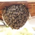 日本ミツバチの弱小群、その後