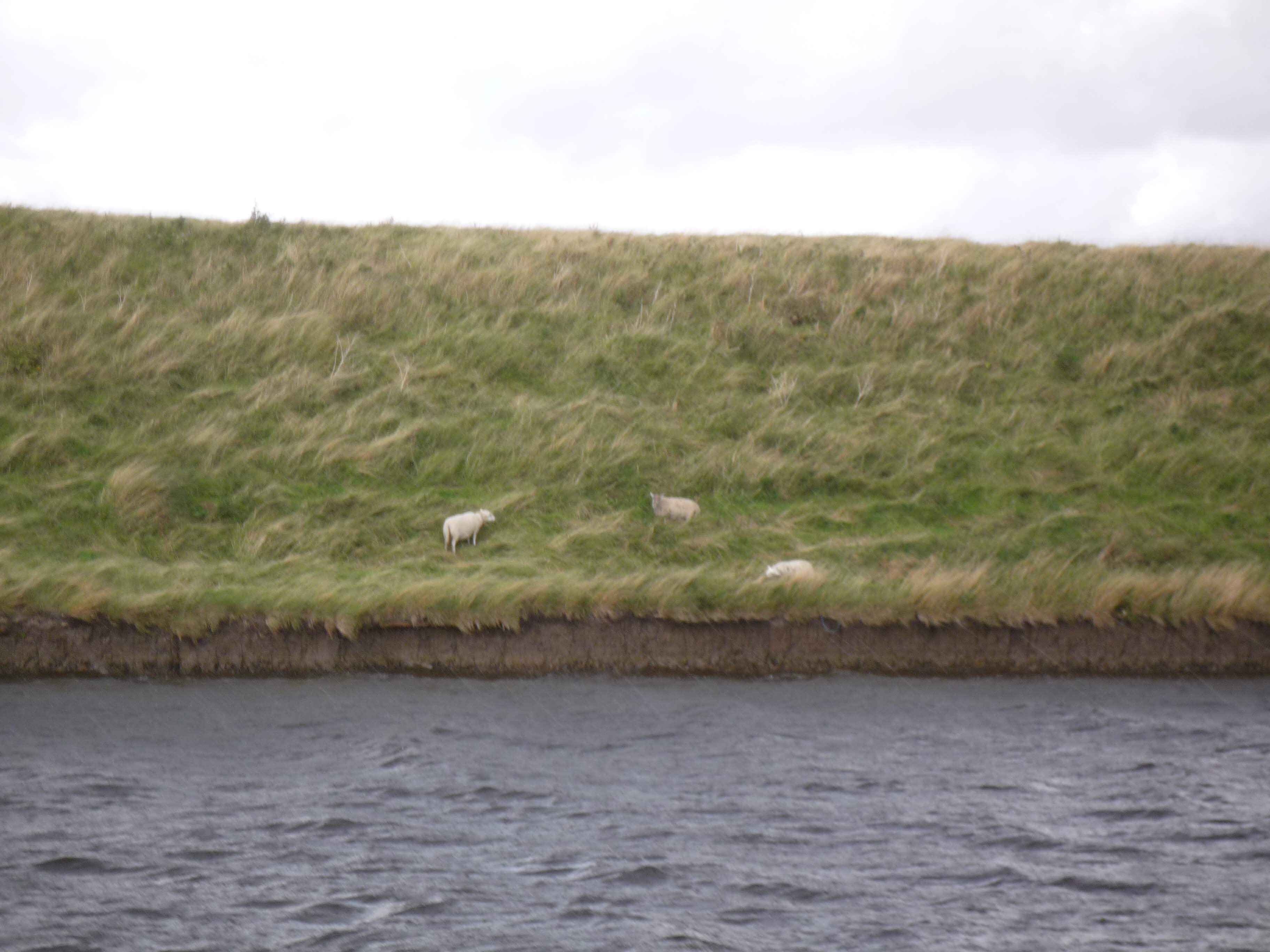 Sheep on the left bank...