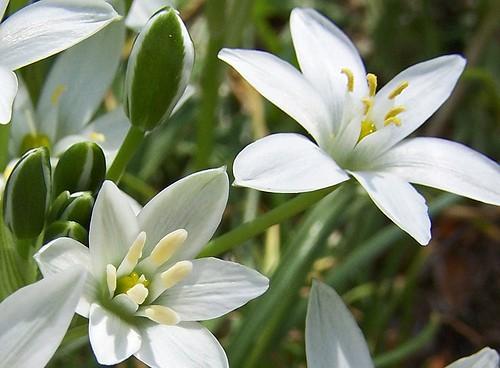 star-of-bethlehem-flower-11