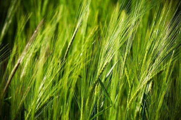 verde de trigo
