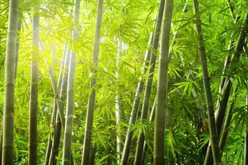bambu tabashir