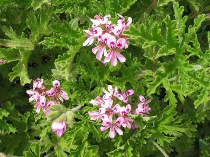 Pelargonium-graveolens- geranio rosa1