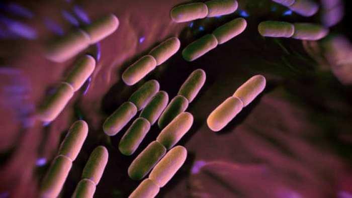 Lactobacillus_Salivarius