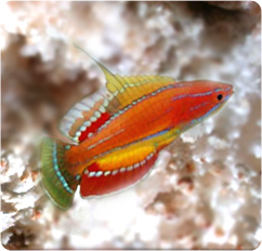McCosker's Flasher Wrasse.  Image from Bluezoo Aquatics, as I don't own one yet.