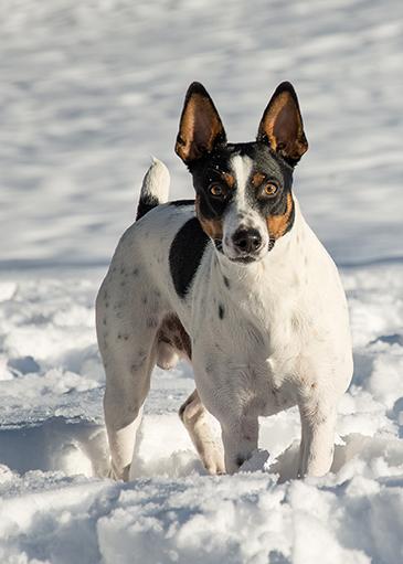 Toy Rat Terriers For Sale : terriers, Indigo, Terriers, North, Idaho, Terrier, Breeders
