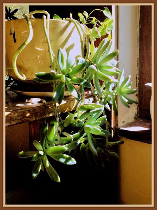 succulent-4b