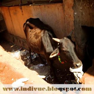 lehmä ojassa