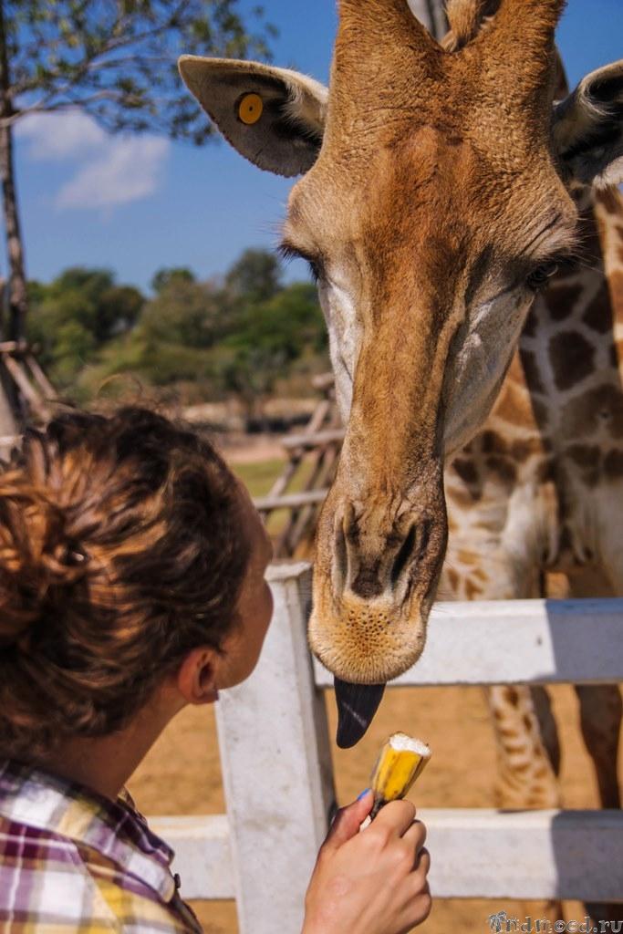 Жираф, Северный Тайланд