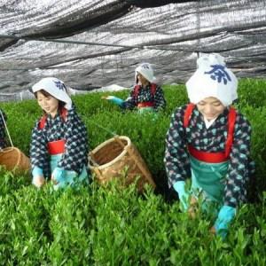 harvesting matcha