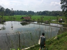 The water from these ponds flows out into the sawah for irrigation.