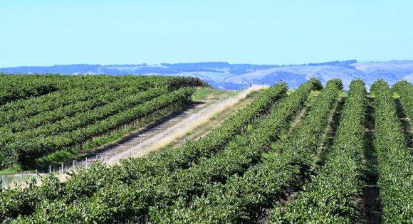 australia vigne