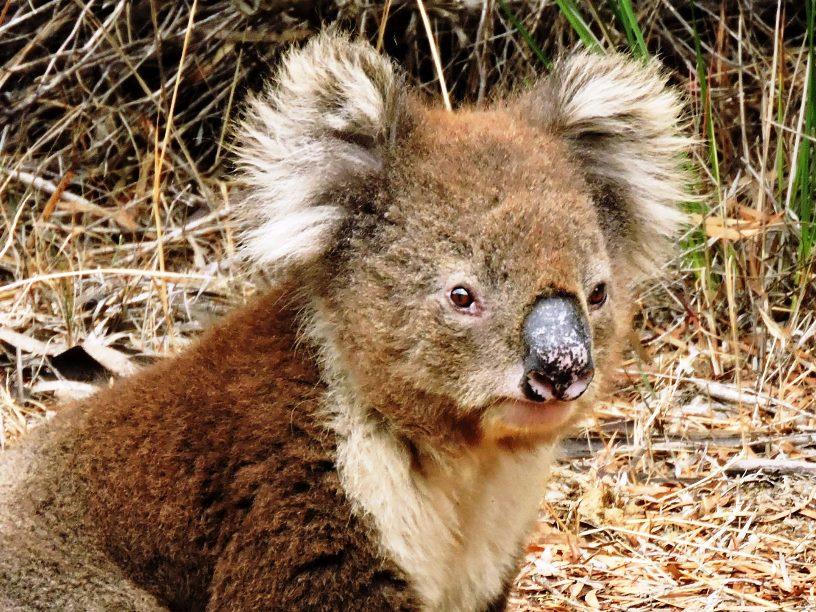Koala primo piano