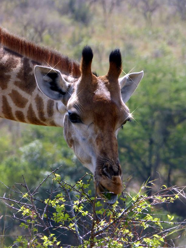 Sud Africa.Giraffa-Isimangaliso Wetland park