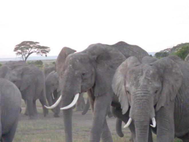 Kenia elefanti